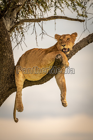 lioness lies on branch with legs