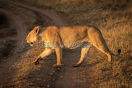 lioness crosses dirt track with lifted