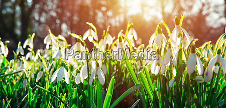 first beautiful spring flowers in the