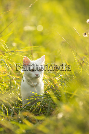 extremely cute white kitten on a