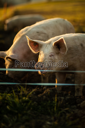 pigs eating on a meadow in