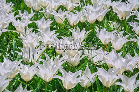 flowerbed of white tulips