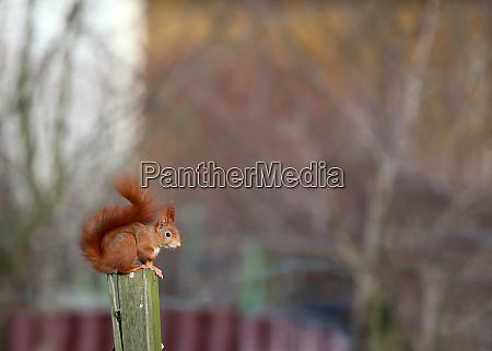 red brown squirrel sciurus vulgaris on