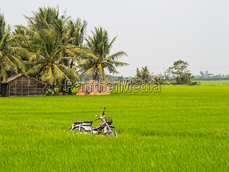 moped in a rice paddock