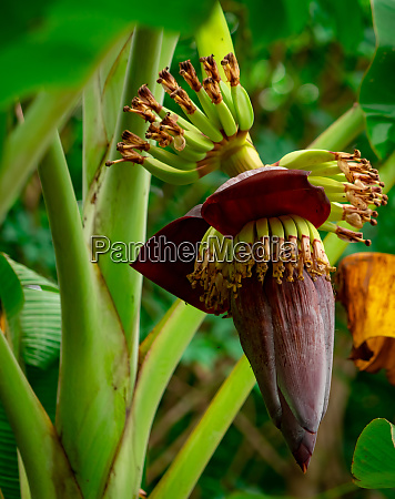 banana tree and green leaves with