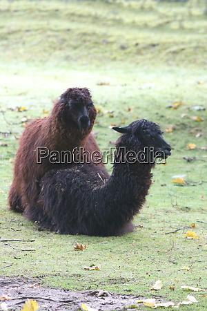 alpaca lama pacos