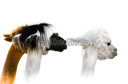 portrait, of, three, different, coloured, alpacas. - 27982775