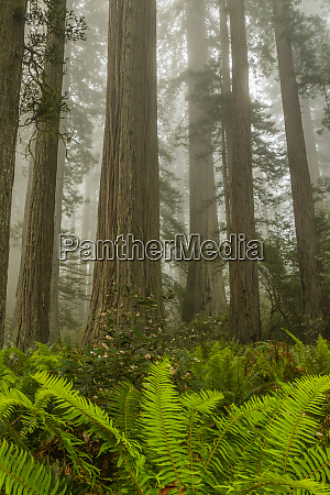 usa california redwoods national park redwood