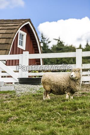 bellevue washington state usa coopworth sheep