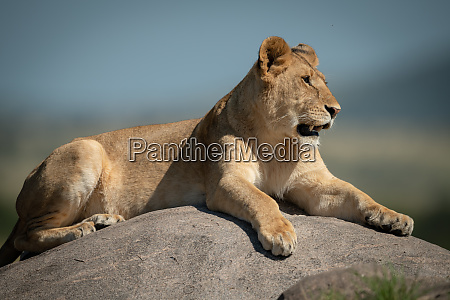 lioness lies on rock with bokeh