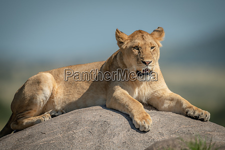 lioness lying on rock with blurred