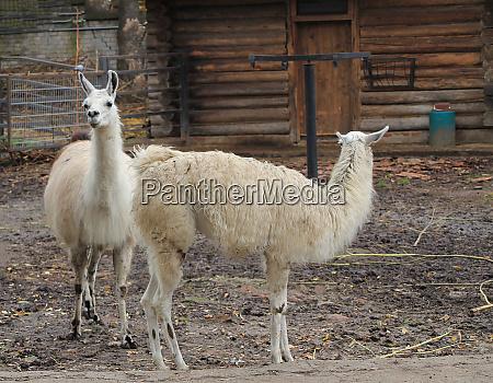 animal llama in a farm corral