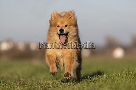 eurasian dog runs free