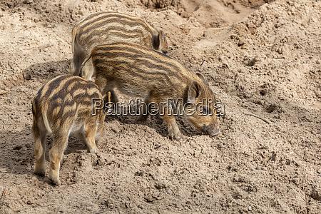 three little wild boar piglets dig