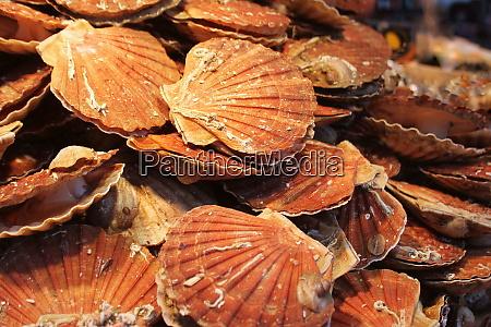 fresh pilgrim scallops or pecten jacobaeus