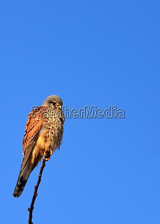 kestrel falco tinnunculus on its seat