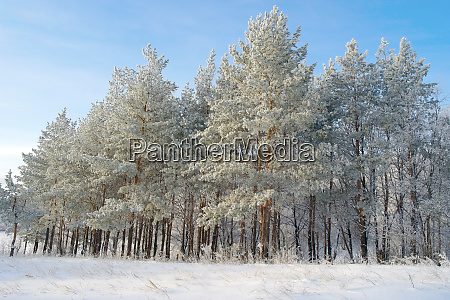 pines hoarfrost covered