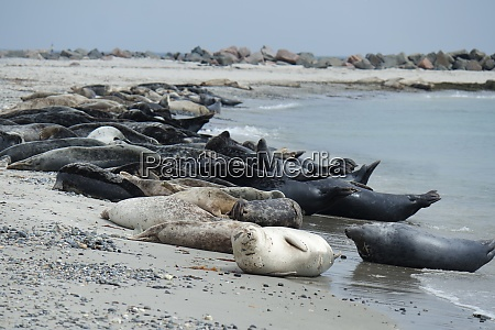 gray seals on the beach of