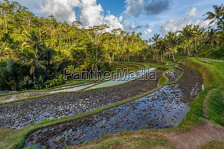 rice terrace in gunung kawi bali