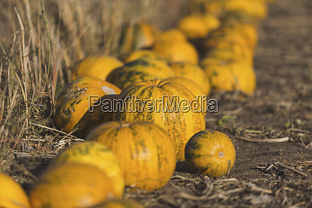 yellow pumpkins on a field