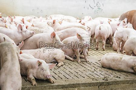 pigs on hardwood floor at pigpen