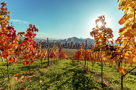 scenic view of vineyard with mountains