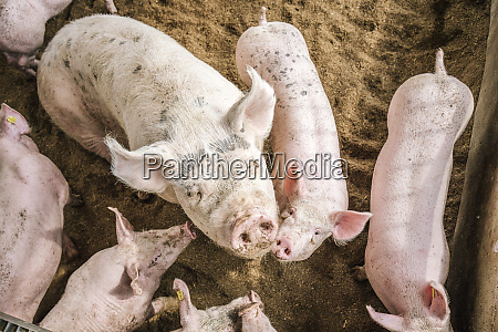 high angle view of pigs standing