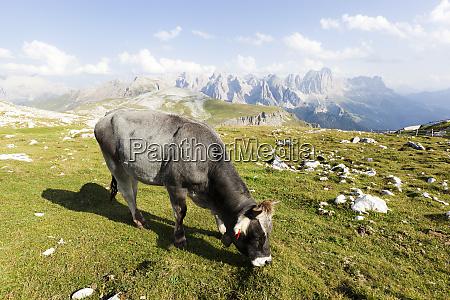 italy trentino alto adige lone cow