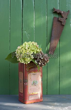 hydrangea flowers blooming in old metal