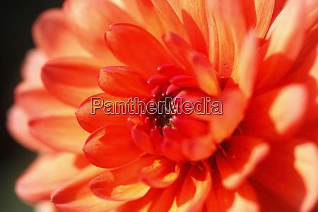 extreme close up of orange dahlia