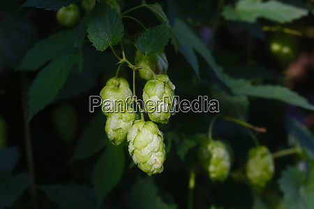 germany bayern flowers of common hop