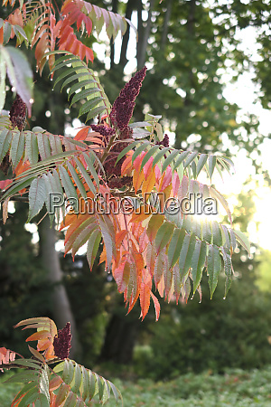 germany saxony branch of staghorn sumac