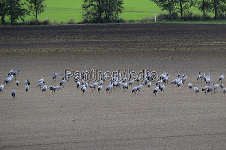 germany brandenburg flock of cranes grazing
