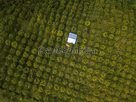 aerial view of orange trees growing