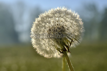 close up of dandelion seed during