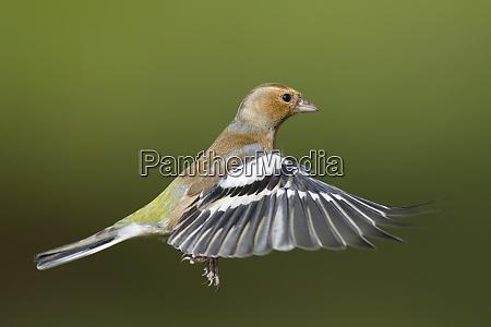 male chaffinch fringilla coelebs flying