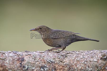 close up of blackbird perching on