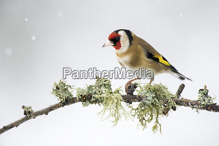 close up of gold finch on