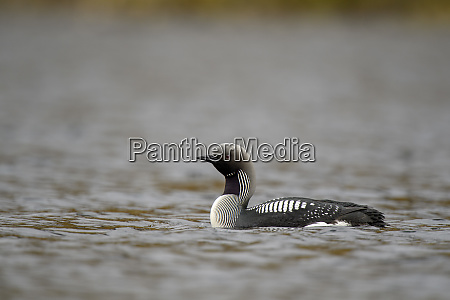 close up of black throated loon