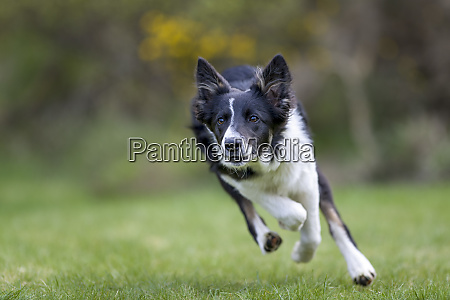 close up of collie running on