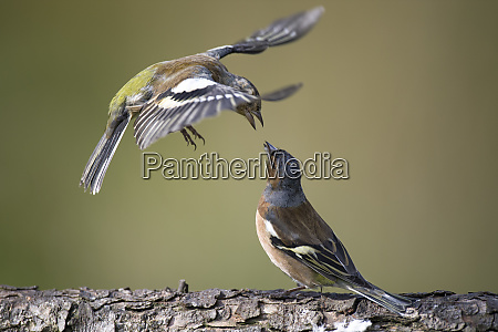 close up of chaffinches perching on