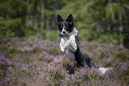 jumping border collie in flowering heather