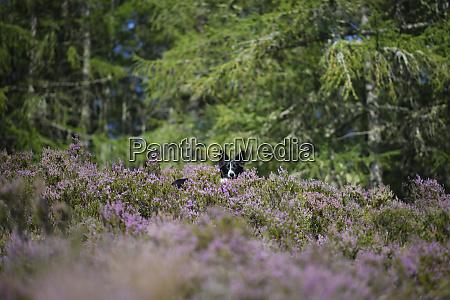 border collie in flowering heather