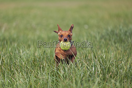 red miniature pinscher playing with ball