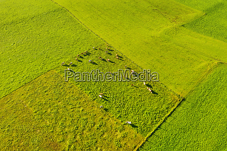 aerial view of cows at pasture