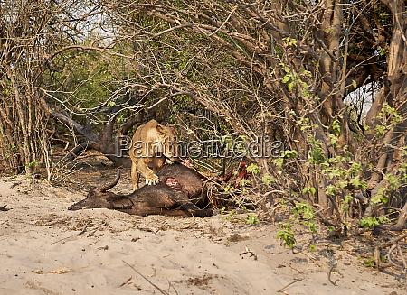 lion eating a hunt buffalo chobe