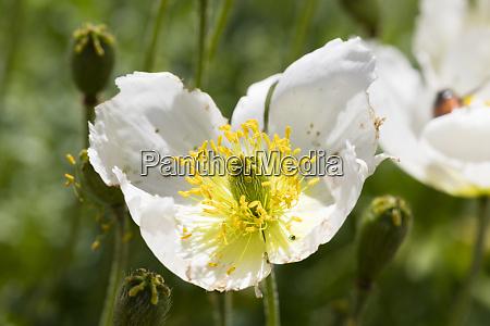 close up of white alpine poppy