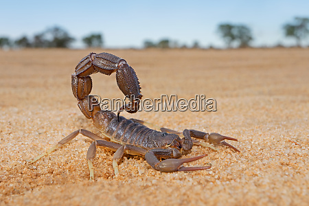 granulated thick tailed scorpion