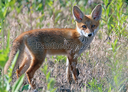 red fox vulpes vulpes in the