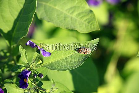potato tree gentian shrub lycianthes rantonnetii